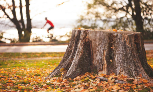 Can a Tree Grow Back from a Stump?
